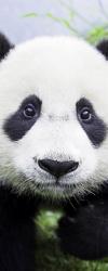panda-patent